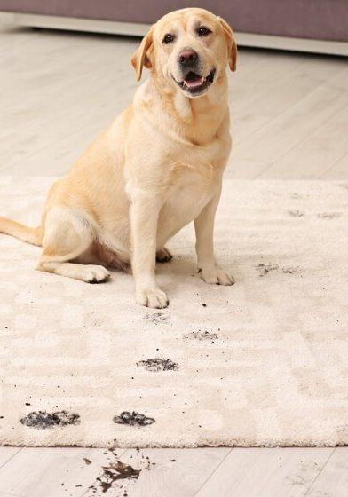 Mud stain on rug by dog | Westport Flooring